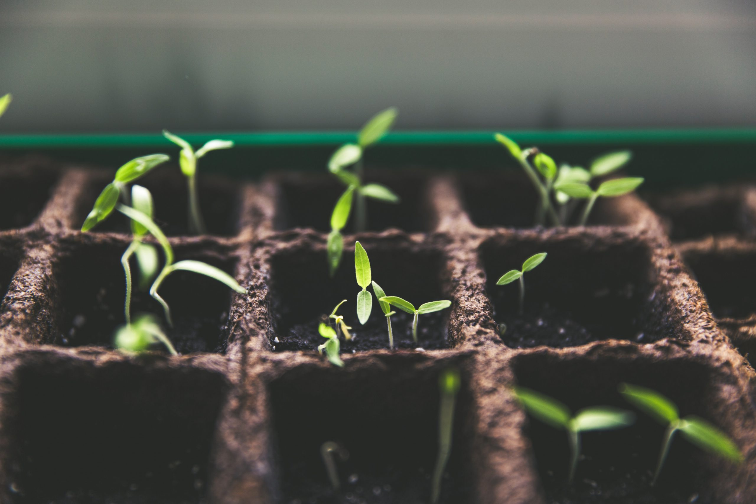 tomatenplantjes in kweekpotjes