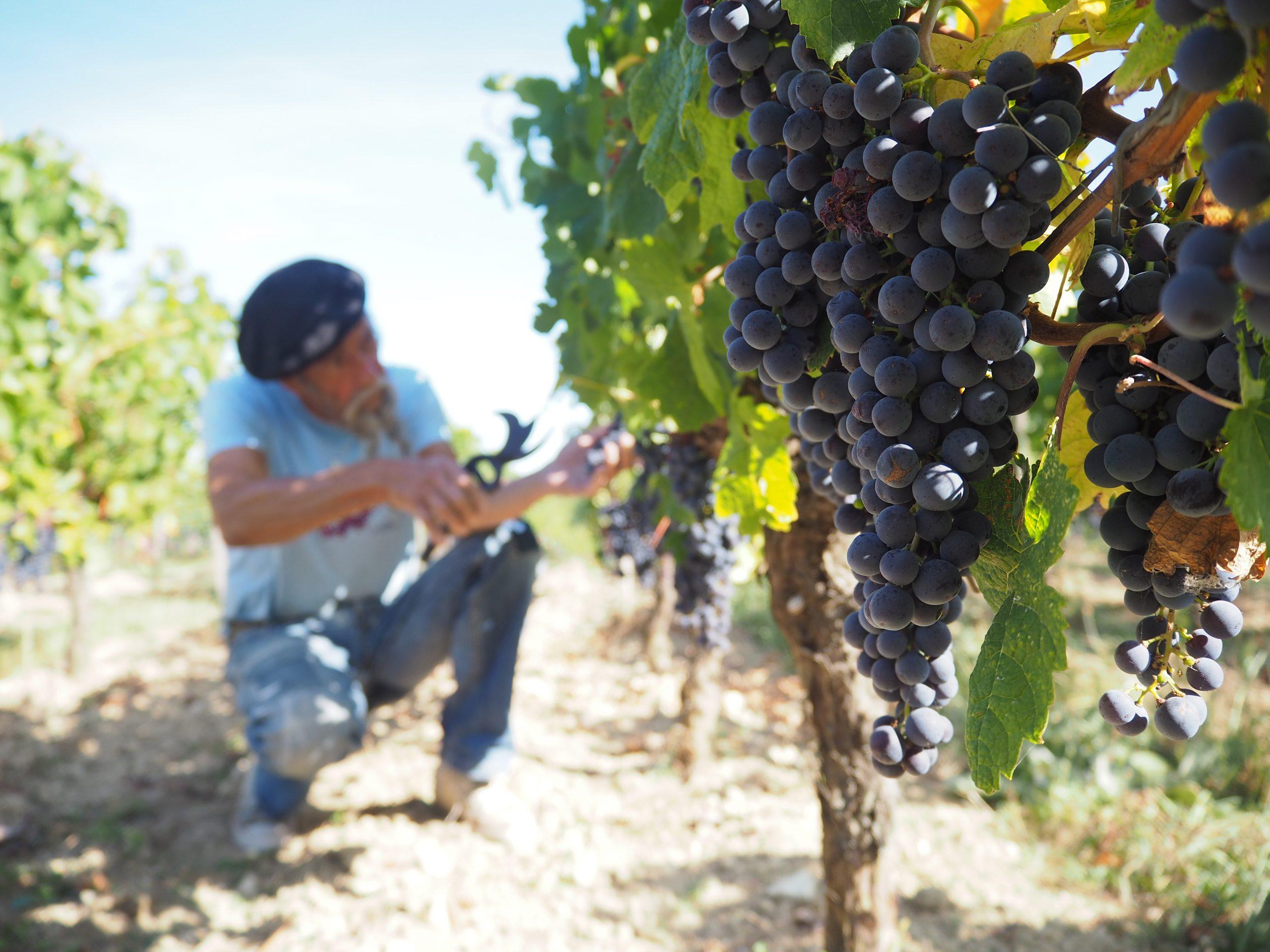 Wijnboer Ilja Gort op wijngaard